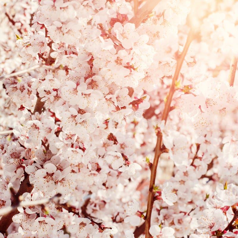 Белые цветки вишни, предпосылки цветений весны стоковые изображения