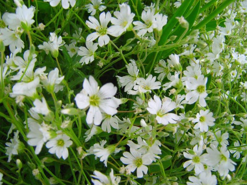Белые цветки в зеленом цвете стоковые изображения rf