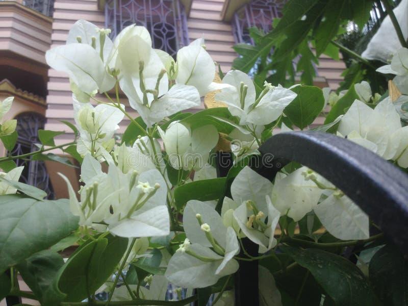 Белые цветки в раннем утре стоковое изображение rf