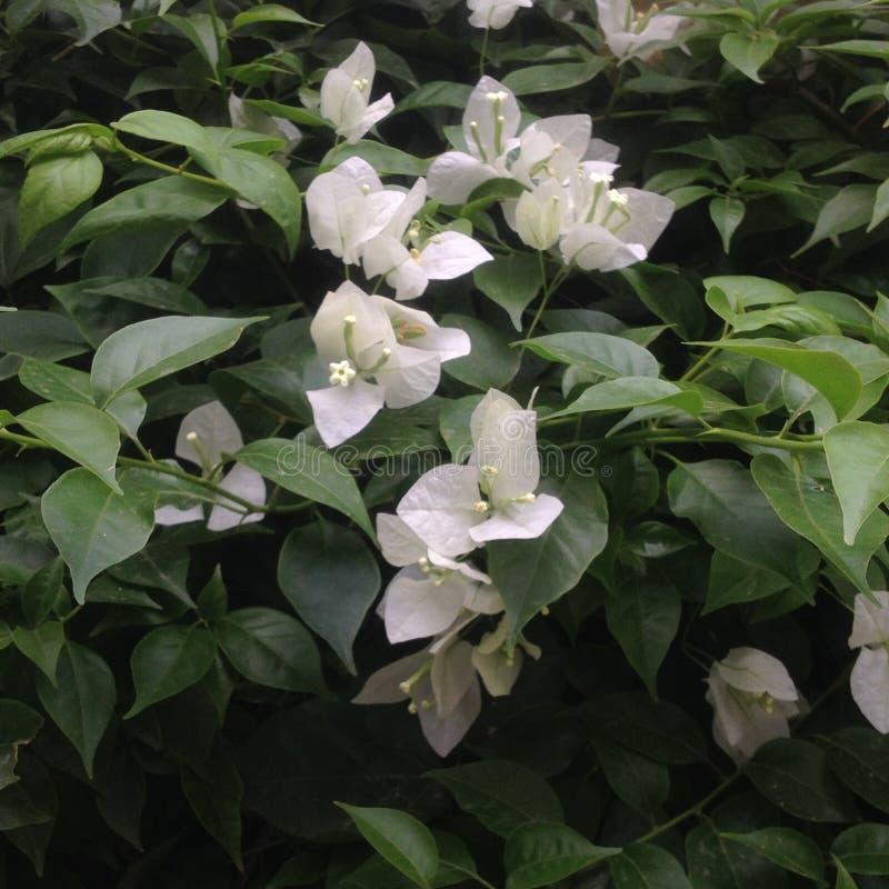 Белые цветки в раннем утре стоковые фото