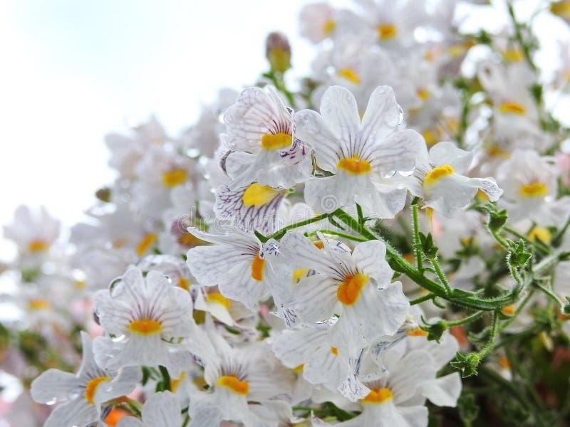 Белые цветки в росе утра стоковая фотография rf