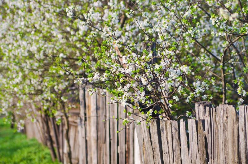 Белые цветки деревьев свежести blossoming. Backg природы красоты стоковые фото