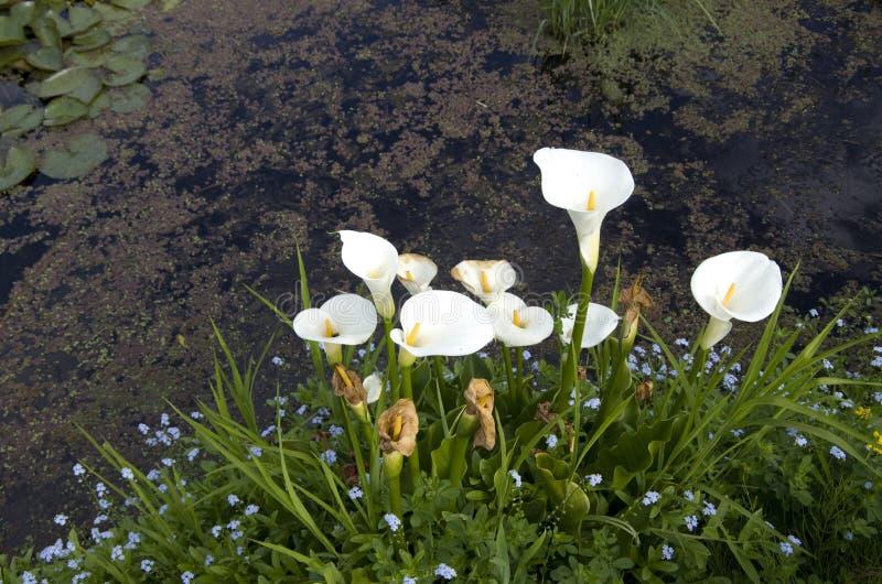 Белые цветки лилии calla в пруде стоковая фотография