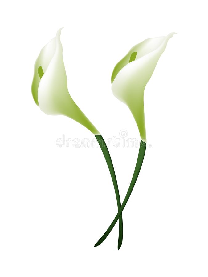 Белые цветки лилии Calla или белые цветения лилии Arum бесплатная иллюстрация