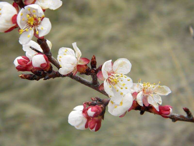 Белые цветки на ветви стоковые изображения