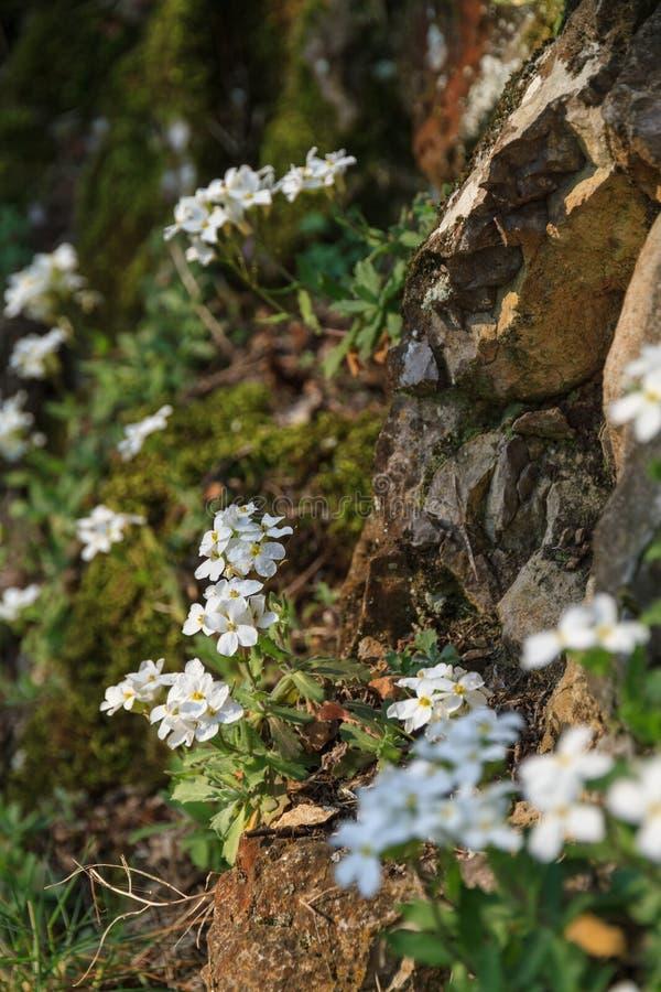 Белые цветки на скалистом наклоне, конец-вверх стоковое фото