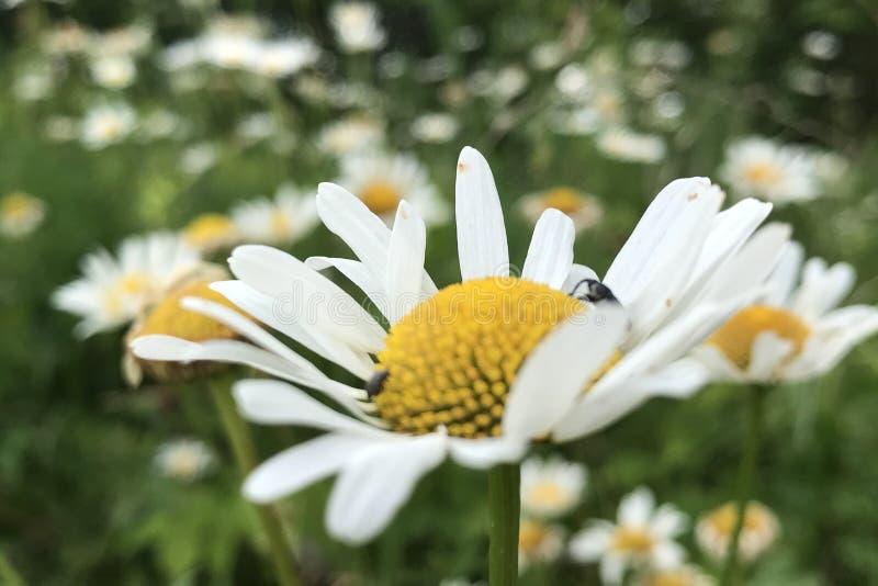 Белые цветки поля стоковая фотография rf