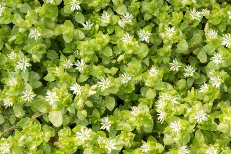 Белые цветки средств массовой информации Stellaria стоковая фотография rf