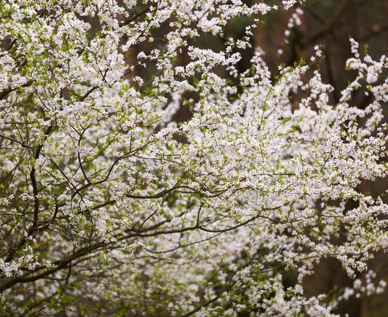 Белые цветки сливы стоковые фото