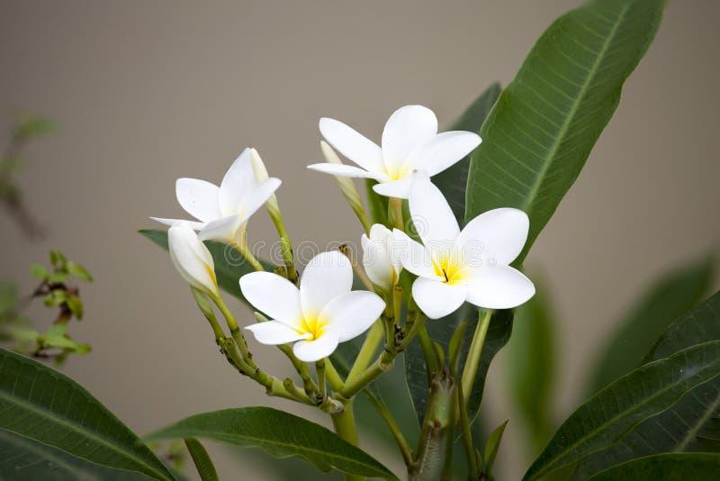 Белые цветки frangipani на blanch стоковые фотографии rf