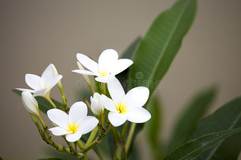 Белые цветки frangipani на blanch стоковое изображение