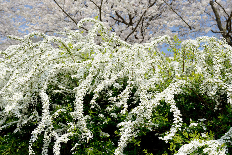 Белые цветки spiraea стоковые фотографии rf
