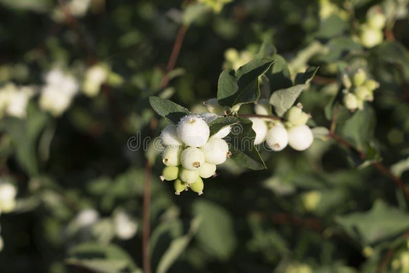 Белые ягоды стоковое фото