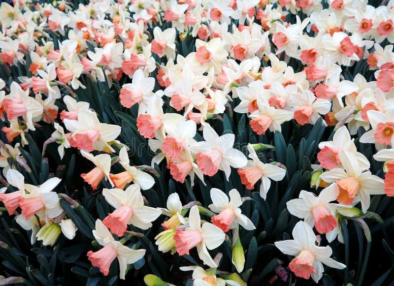 Белые daffodils весной стоковое изображение