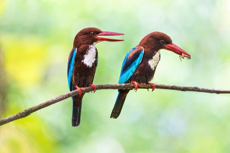 Белые Throated пары Kingfisher с добычей стоковая фотография