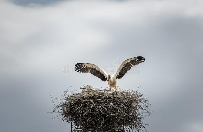 Белый аист в своем гнезде стоковая фотография rf