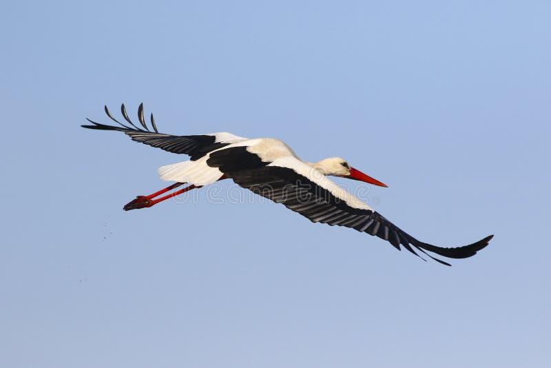 Белый аист летая стоковые фото