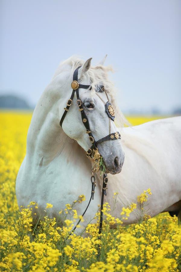 Белый андалузский портрет лошади стоковые фото