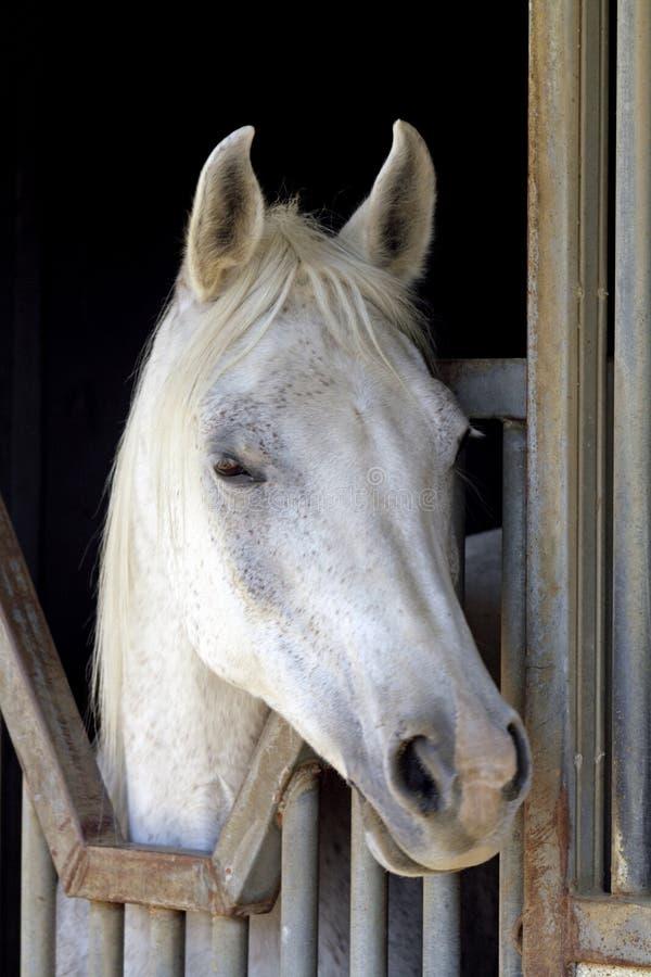 Белый аравийский крупный план лошади стоковое фото rf