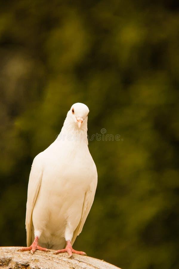 Белый вихрун, птица мира стоковая фотография