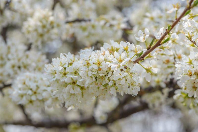 Белый вишневый цвет Сакура в Японии стоковая фотография