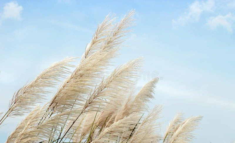 Белый высокий цветок травы на небе стоковое изображение