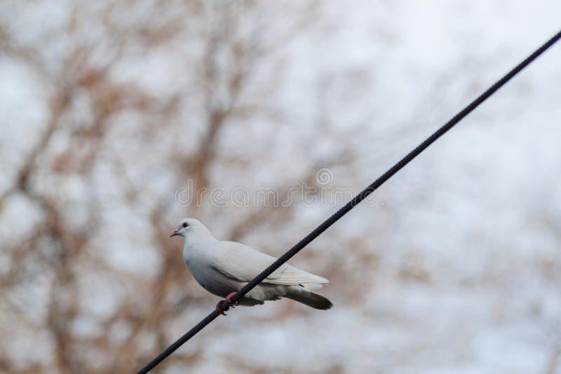 Белый голубь на проводе стоковые изображения rf