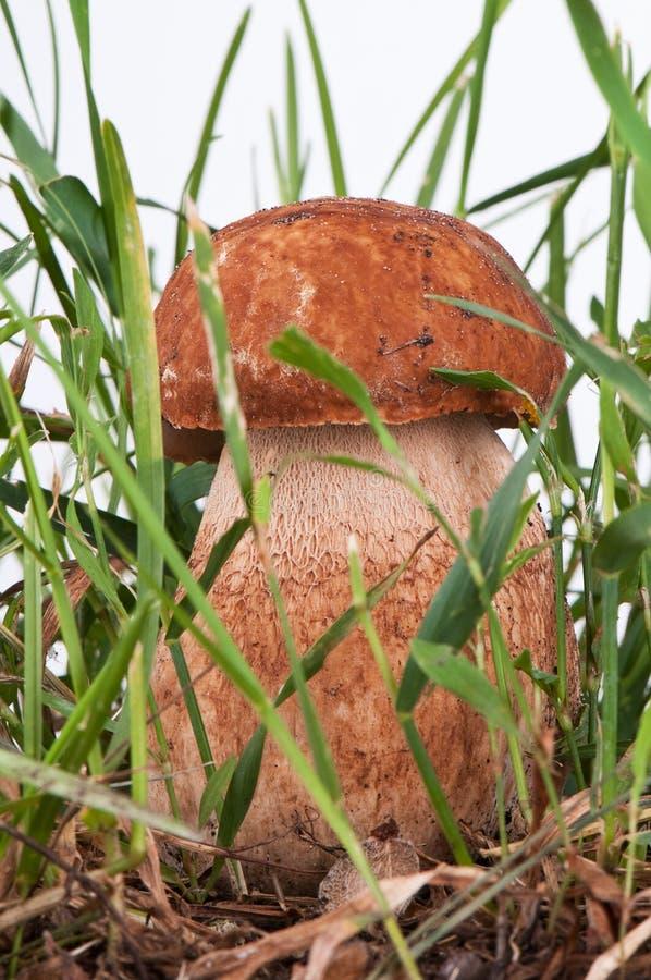 Белый гриб в зеленой траве на белой предпосылке стоковое изображение