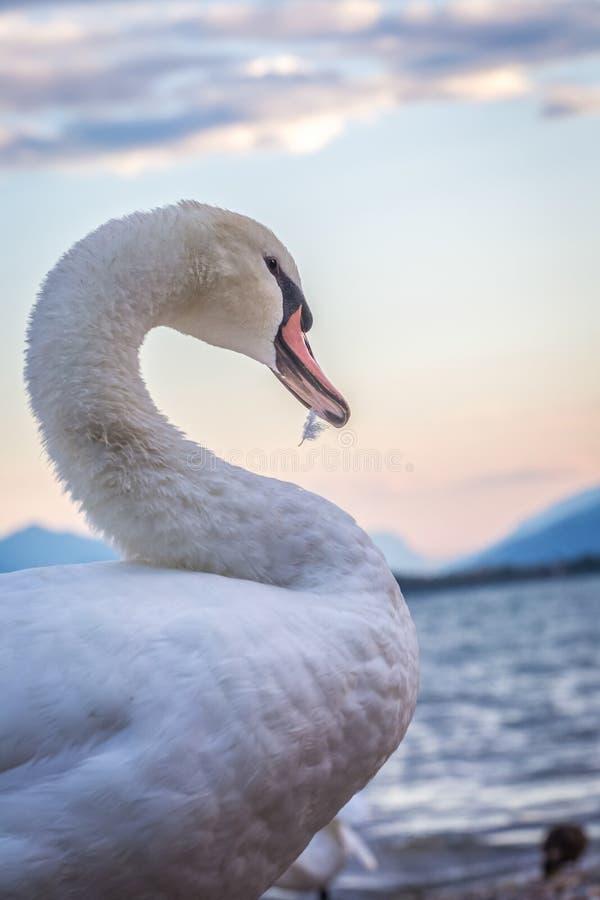Белый лебедь, взгляд со стороны с изогнутой шеей и клюв держа feathe стоковое фото rf