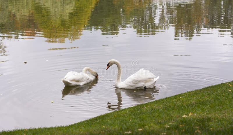Белый лебедь в утре в озере стоковые фотографии rf