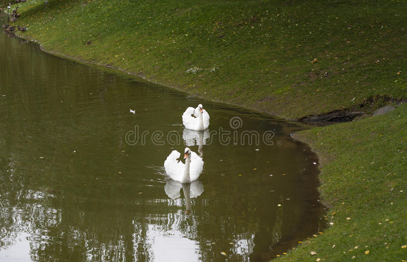 Белый лебедь в утре в озере стоковые фото