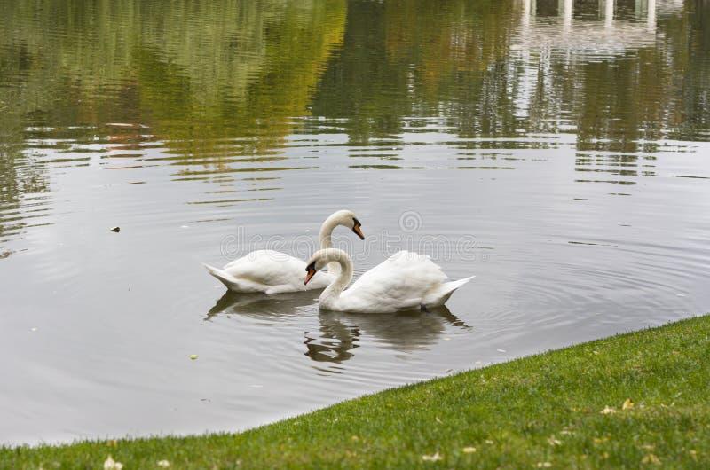 Белый лебедь в утре в озере стоковое фото rf