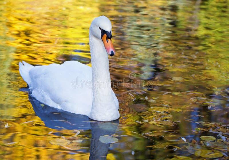 Белый лебедь в утре стоковое изображение rf