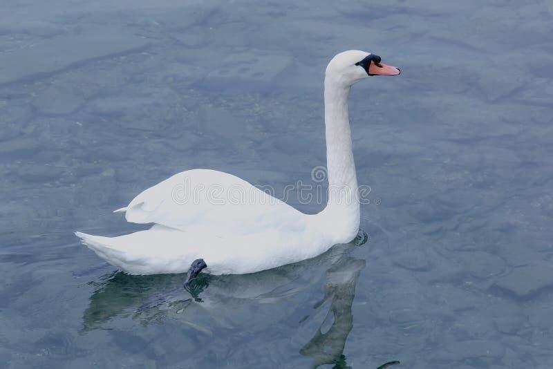 Белый лебедь в чистой воде стоковая фотография