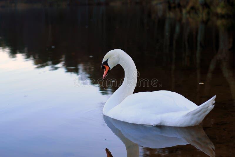 Белый лебедь на озере стоковое фото rf