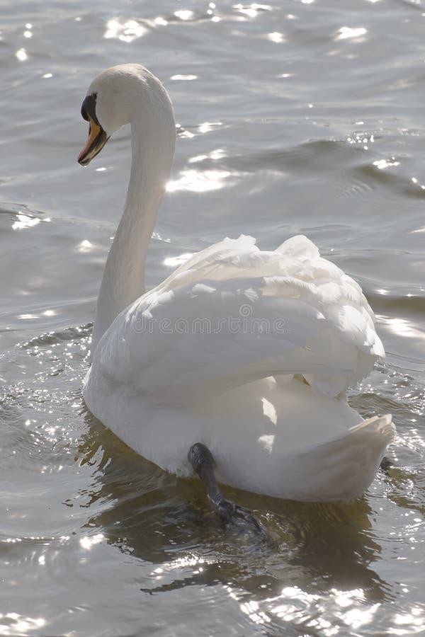 Белый лебедь на озере стоковые изображения rf