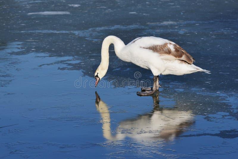 Белый лебедь на стоять на льде стоковая фотография