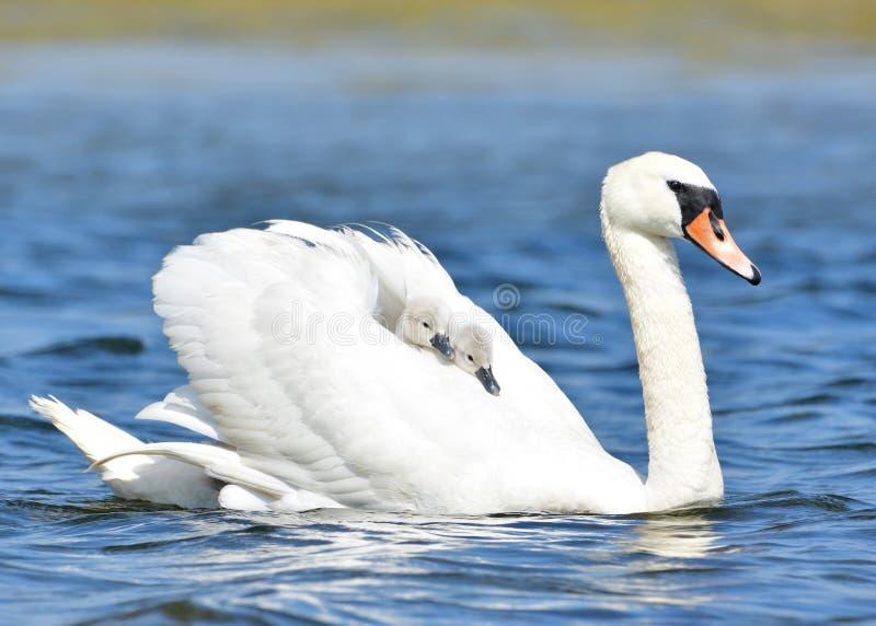 Белый лебедь при 2 милых цыпленока ехать на ей назад стоковые фотографии rf