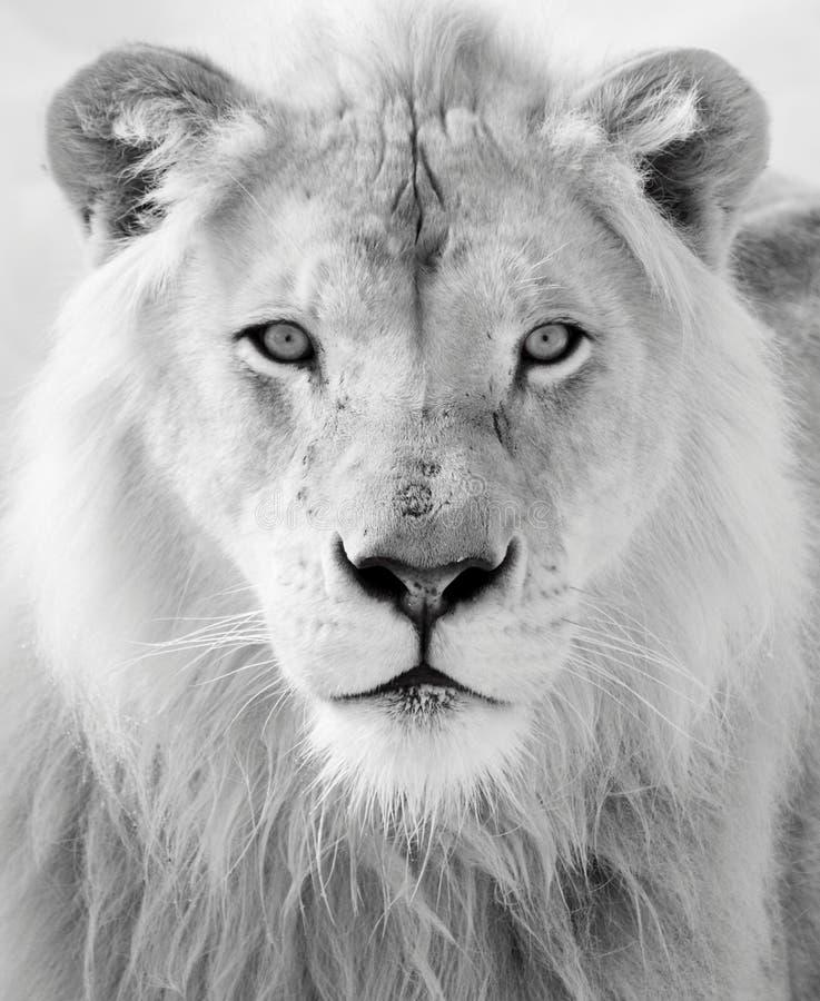 Белый лев стоковые фотографии rf