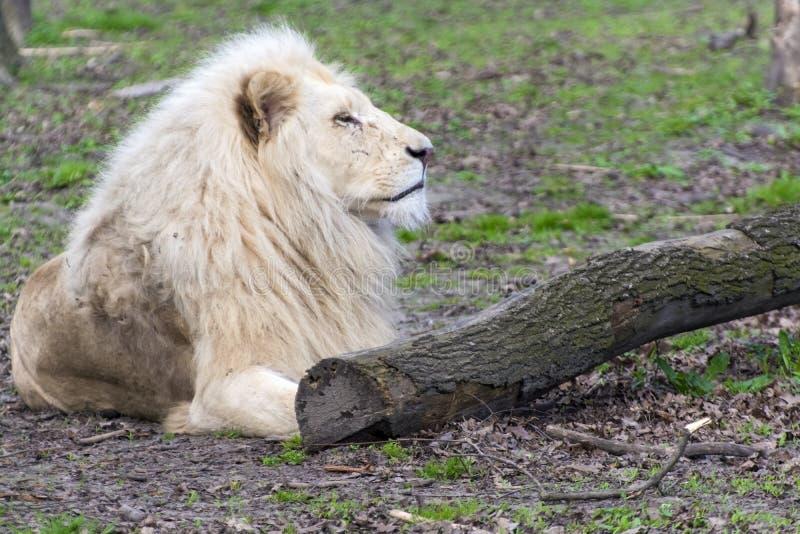 Белый лев (krugeri leo пантеры) стоковое фото rf