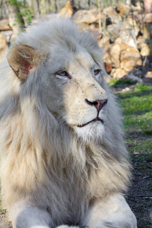 Белый лев (krugeri leo пантеры) стоковые изображения rf