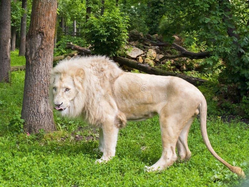 Белый лев (krugeri leo пантеры) стоковая фотография