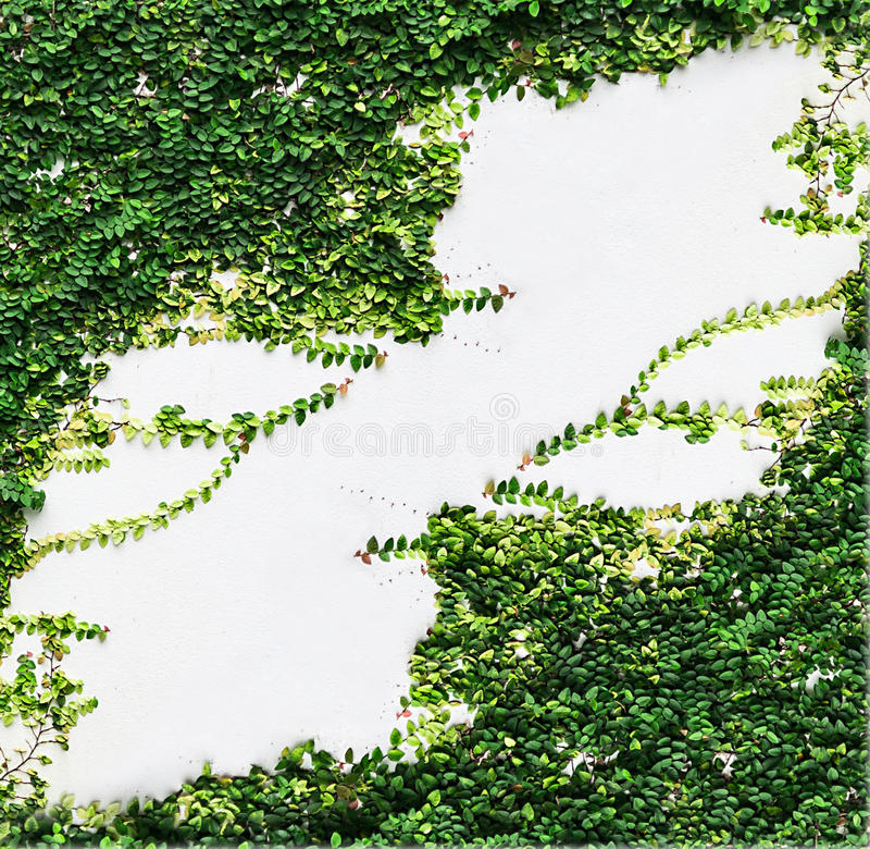 Белый завод плюща зеленого цвета стены стоковая фотография rf