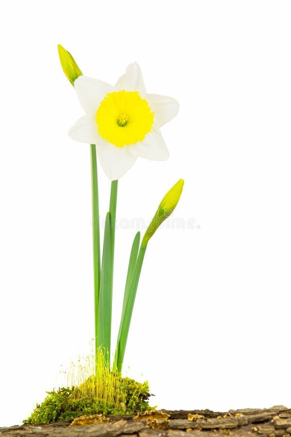 Белый и желтый завод daffodil стоковые фотографии rf