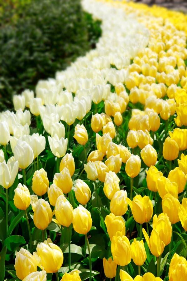 Белый и желтый сад тюльпанов весной стоковые изображения rf