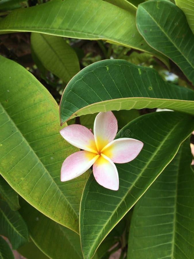 Белый и желтый цветок plumeria стоковое изображение rf