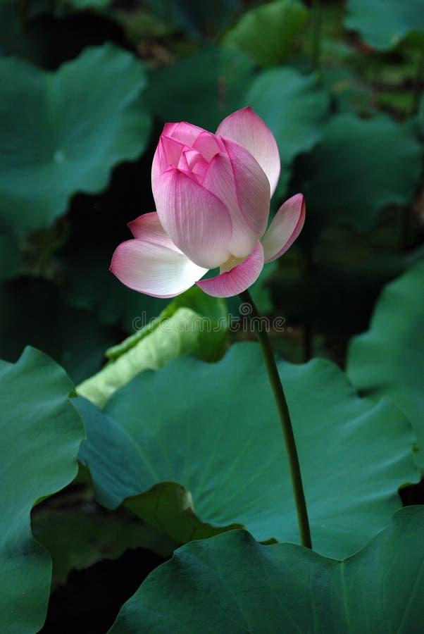Белый и розовый лотос стоковые изображения rf
