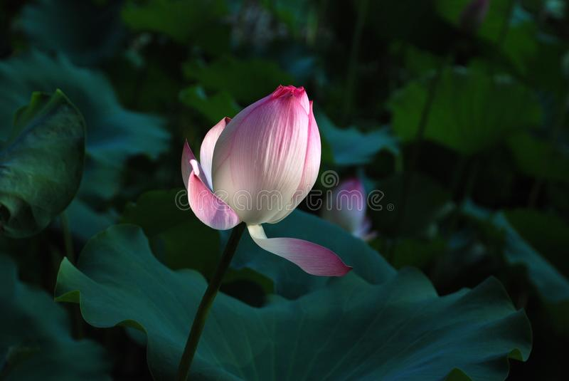 Белый и розовый лотос стоковые фотографии rf