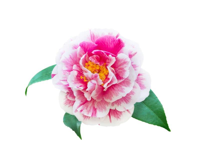 Белый и розовый bicolor цветок камелии стоковые фото