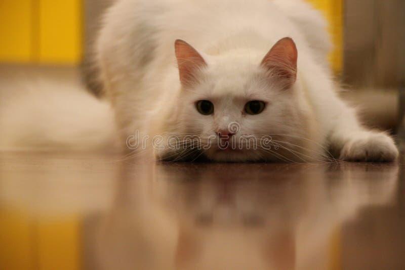 Белый кот готовый для того чтобы уловить мышь стоковая фотография
